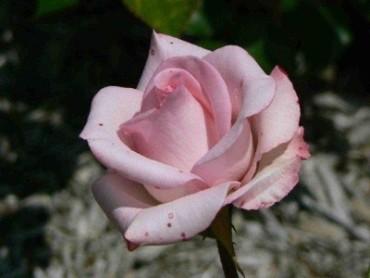 Flower pretty pink notecard 659 lola moonflo photography flower pretty pink notecard mightylinksfo